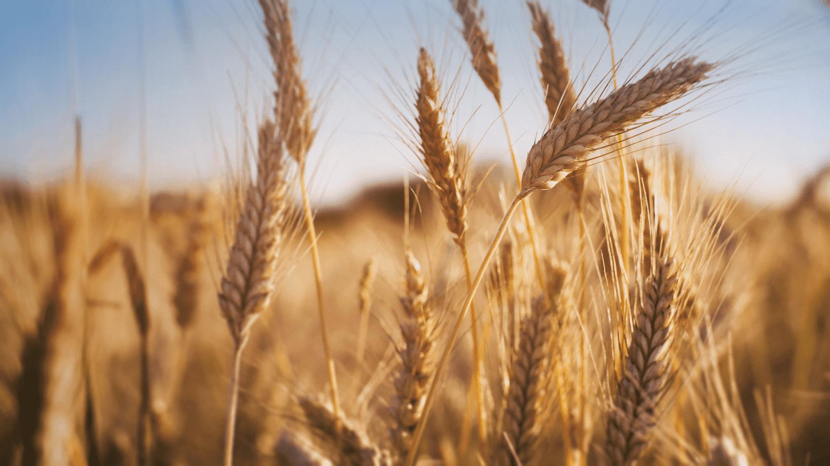 Le bonheur est <br>dans le blé